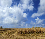 End of the Season Corn Field Royalty Free Stock Images