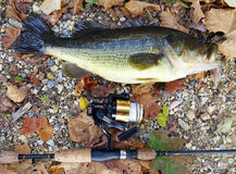End of Season Largemouth Bass. Photo of 5 lb largemouth bass caught at the c&o canal in maryland near washington dc on 10/31/15.  A quantum fishing rod and bass Royalty Free Stock Photos