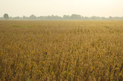 End-of-season Soybeans Royalty Free Stock Images