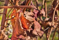 Leaves of the vineyard at the end of the season royalty free stock image