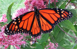 End of Summer Monarch Butterfly. Photo of orange monarch butterfly in a summer garden during august. This butterfly will leave soon and fly to Mexico royalty free stock photo