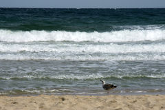 End of summer - 1. Seagull on a deserted beach of the Black Sea in late summer Royalty Free Stock Photography