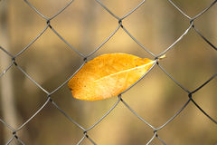 End of summer season. Yellow autumn leaf hanging in metal net Stock Photo