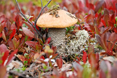 The mushrooms in the tundra. Royalty Free Stock Photography