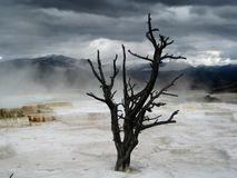 The end of times. Lonely dead tree in Mammoth Hot Springs (Yellowstone, Wyoming, USA). The dark clouds mixed with the water vapour contributed to intensify this Royalty Free Stock Photo