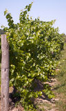 End of Vineyard row a Stock Images