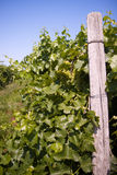 End of Vineyard row Royalty Free Stock Image