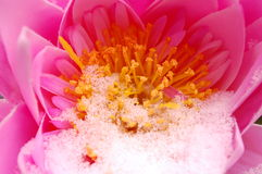 End of winter, spring starting. A pink flower with snow during winter Royalty Free Stock Images
