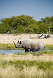 Endangered African Black Rhino. Endangered Black Rhino, photographed at a watering hole in Etosha National Park, Namibia Stock Photography