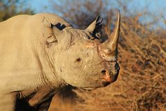Endangered African black Rhino Royalty Free Stock Photography