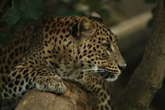 Endangered amur leopard resting on a tree in the nature habitat. Wild animals in captivity. Beautiful feline and carnivore. Panthera pardus orientalis Royalty Free Stock Photography
