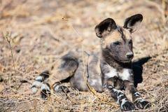 African Wild Dog puppy. Endangered animal African wild dog puppy in safari park in South Africa Royalty Free Stock Photo