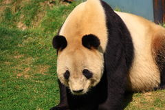 Endangered animal  Giant Panda Royalty Free Stock Photo