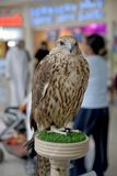 Endangered Arab Saker Falcon Stock Images