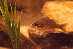 Endangered Arroyo chub fish scientifically known as Gila orcutti Stock Photography