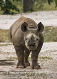 Endangered Baby Black Rhino Stock Image