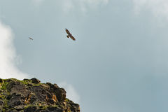 An endangered bearded vulture (Gypaetus barbatus)with the small Stock Photography