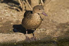 The endangered Bernier's Teal, Anas bernieri. From Madagascar Royalty Free Stock Photography