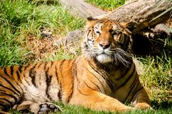 Lazy tiger resting on the grass. Endangered big cat species close up in a mexican zoo royalty free stock image