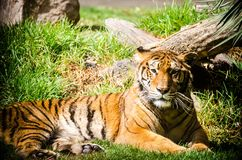 Lazy tiger resting on the grass. Endangered big cat species close up in a mexican zoo stock image