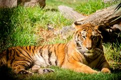 Lazy tiger resting on the grass. Endangered big cat species laying on the ground stock photos