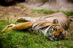 Lazy tiger resting on the grass. Endangered big cat species laying on the ground royalty free stock photo