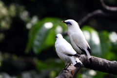 Endangered Bird - Bali Starling. A couple of Bali Starling, a critically endangered bird resting on a tree branch.  The number of this bird in wild is less than Stock Photo