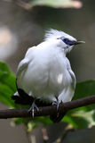 Endangered Bird - Bali Starling Royalty Free Stock Images