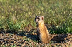 Black-footed Ferret on the Plains of Colorado stock photos
