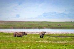 Free Endangered Black Rhino Royalty Free Stock Photography - 112799597