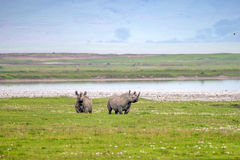 Endangered black rhino Royalty Free Stock Images