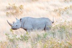 Endangered black rhino, Diceros bicornis,  between grass Royalty Free Stock Photos