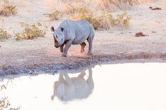 Endangered black rhino, Diceros bicornis, at a waterhole Royalty Free Stock Images