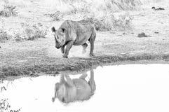 Endangered black rhino, Diceros bicornis, at a waterhole. Monochrome stock photos