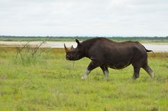 Endangered black rhino Royalty Free Stock Photos