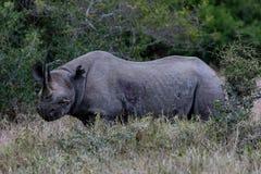 Black Rhinoceros, Kenya, Africa stock photos