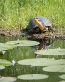 Endangered Blanding`s Turtle in the Don River Valley, Toronto Royalty Free Stock Photos