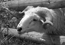 Endangered breed Wallachian sheep Royalty Free Stock Images