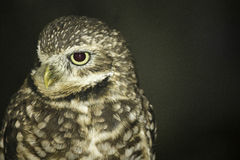 The endangered burrowing owl. The Burrowing Owl is endangered in Canada, threatened in Mexico, and a species of special concern in Florida and most of the Royalty Free Stock Image