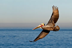 Endangered California Brown Pelican, flying. Endangered California Brown Pelican in its red and green mating colors, flying at La Jolla Cove, San Diego Stock Image