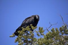 Endangered California Condor Stock Image