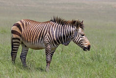 Endangered Cape Mountain Zebra. Standing in green grassland; Equus zebra stock photography