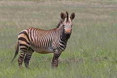Endangered Cape Mountain Zebra Stock Photos
