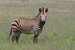 Endangered Cape Mountain Zebra. Standing in green grassland; Equus zebra stock photos