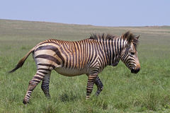 Endangered Cape Mountain Zebra stock photography