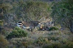 Endangered Cape Mountain Zebra Equus zebra, Addo Elephant National Park, South Africa. Endangered Cape Mountain Zebra Equus zebra at sunset, Addo Elephant Stock Image