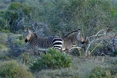 Endangered Cape Mountain Zebra Equus zebra, Addo Elephant National Park, South Africa. Endangered Cape Mountain Zebra Equus zebra at sunset, Addo Elephant Royalty Free Stock Image