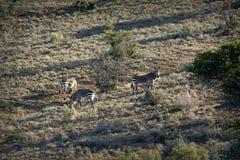 Endangered Cape Mountain Zebra Equus zebra, Addo Elephant National Park, South Africa. Endangered Cape Mountain Zebra Equus zebra at sunset, Addo Elephant Stock Photos
