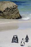 Endangered Cape penguins. Colony of endangered Cape penguins on Boulders beach, Simons Town, South Africa Stock Image