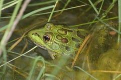 Endangered Chiricahua Leopard Frog (Lithobates chiricahuensis) Stock Image